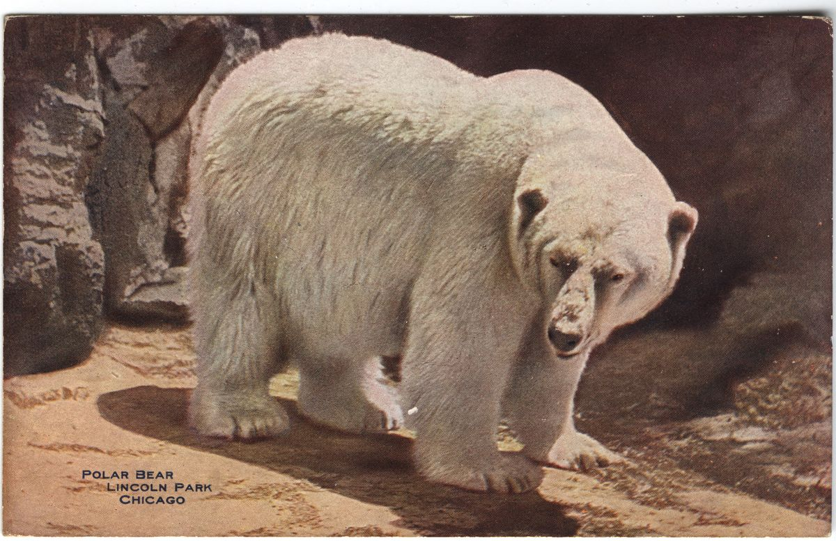 Image: Polar Bear, Lincoln Park